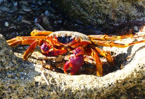 huon crab 1