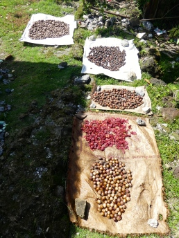 Nutmeg and mace (red) drying
