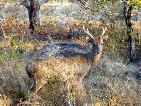 Rinca deer