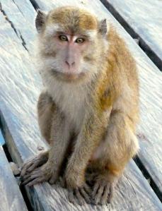 Rinca monkey 2