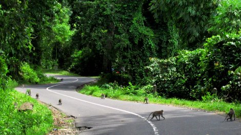 Monekys on road In Pusuk Forest